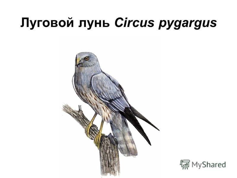 Луговой лунь Circus pygargus
