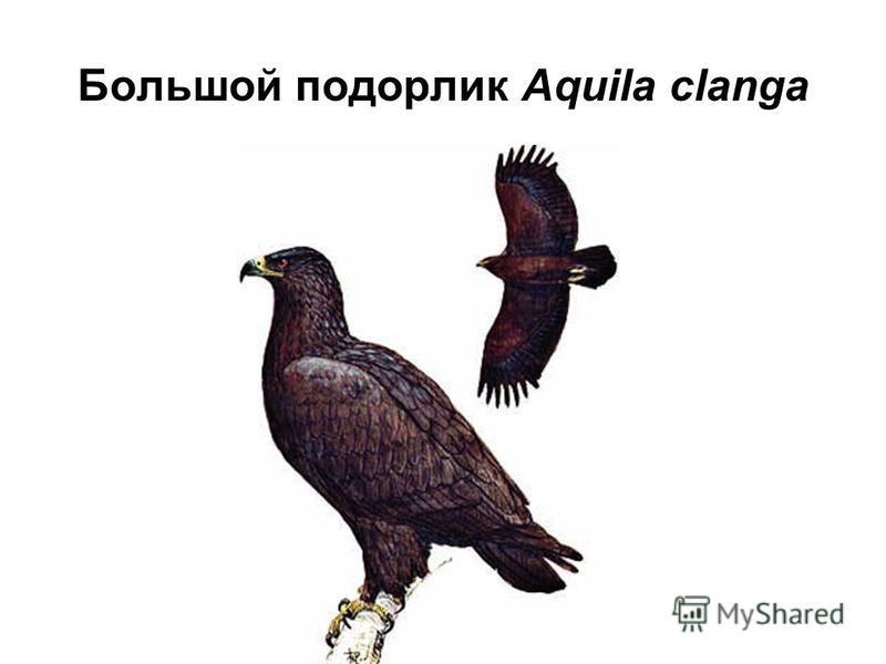 Большой подорлик Aquila clanga