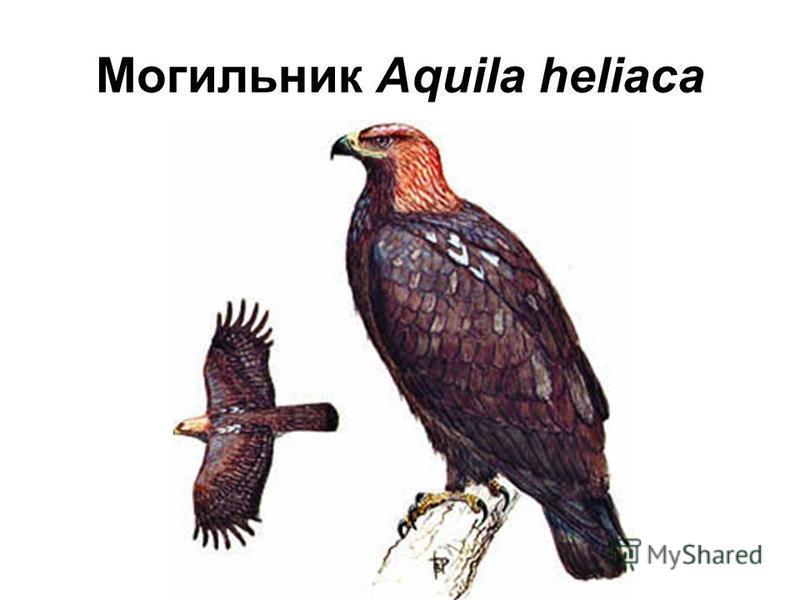 Могильник Aquila heliaca