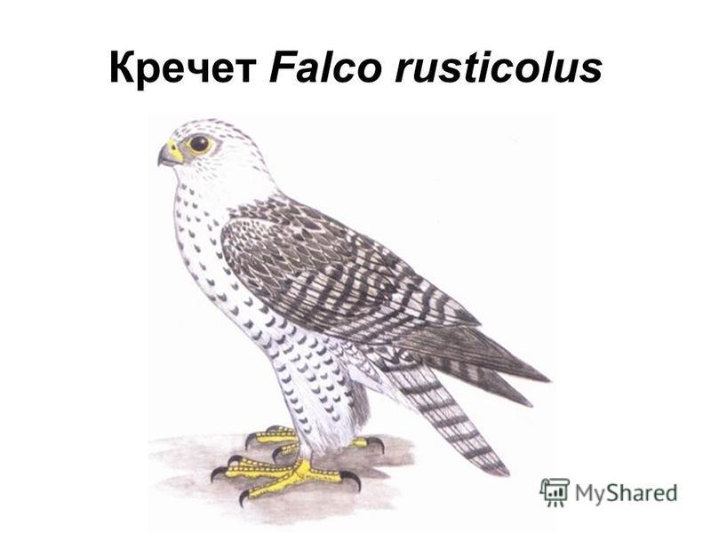 Кречет Falco rusticolus
