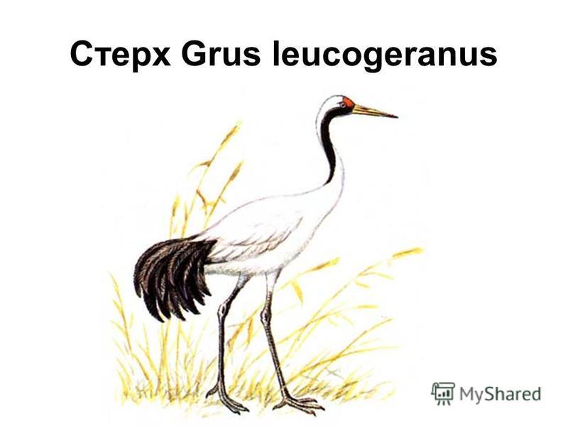 Стерх Grus leucogeranus