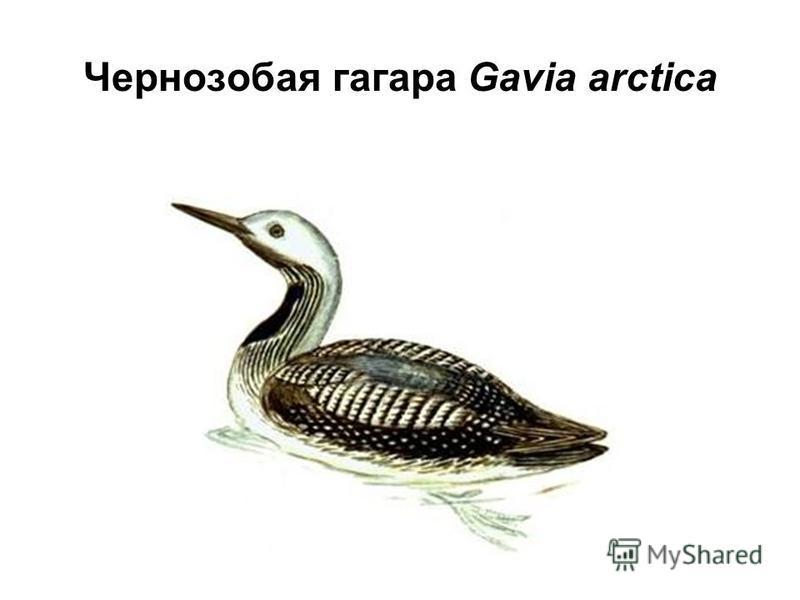 Чернозобая гагара Gavia arctica