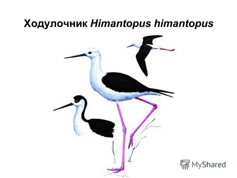 Ходулочник Himantopus himantopus