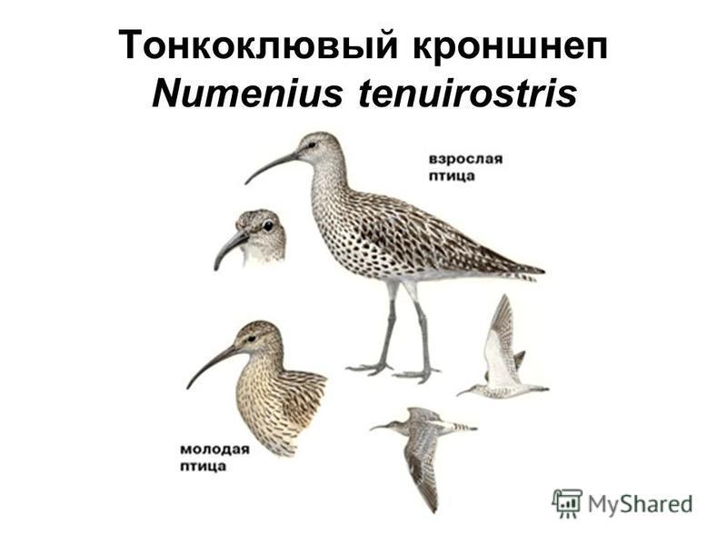 Тонкоклювый кроншнеп Numenius tenuirostris
