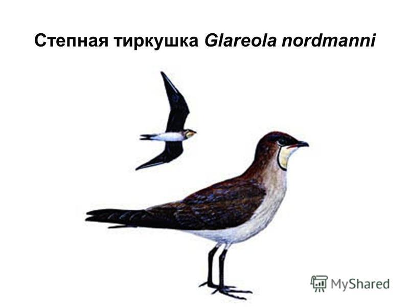 Степная тиркушка Glareola nordmanni