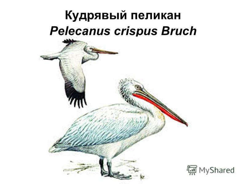 Кудрявый пеликан Pelecanus crispus Bruch