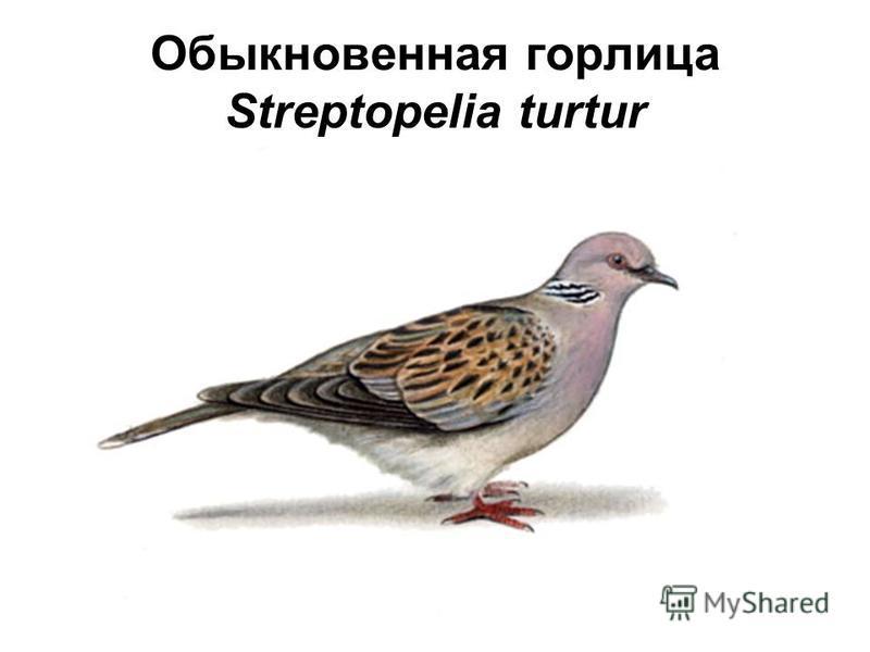 Обыкновенная горлица Streptopelia turtur