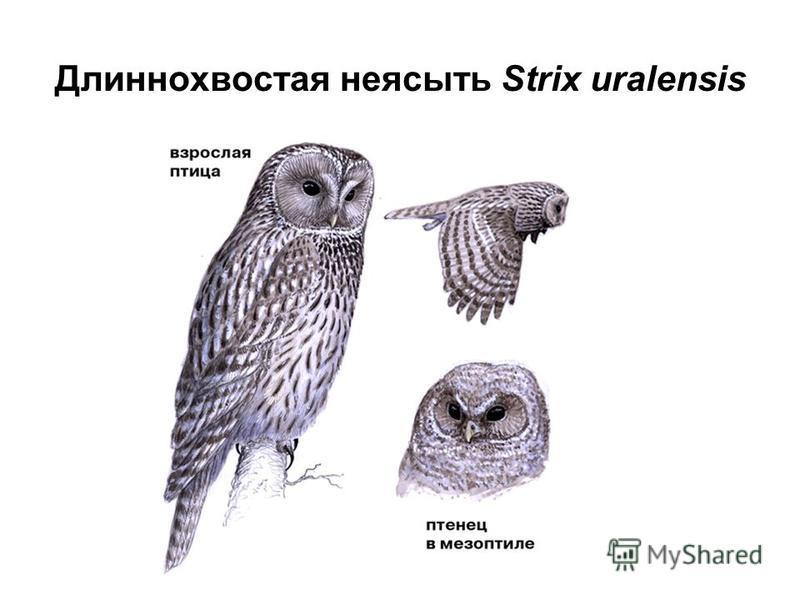 Длиннохвостая неясыть Strix uralensis