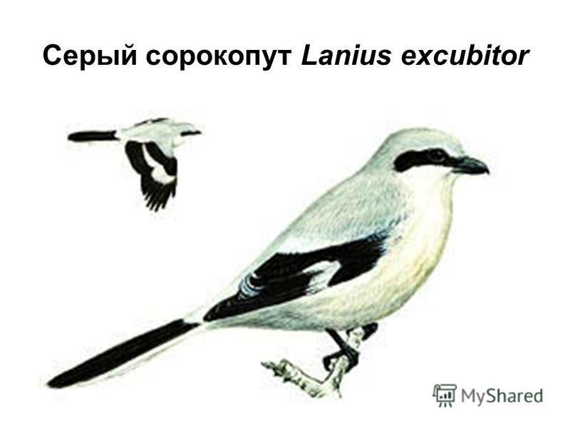 Серый сорокопут Lanius excubitor