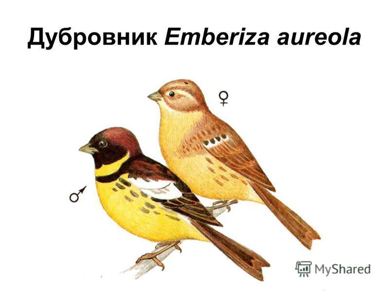 Дубровник Emberiza aureola