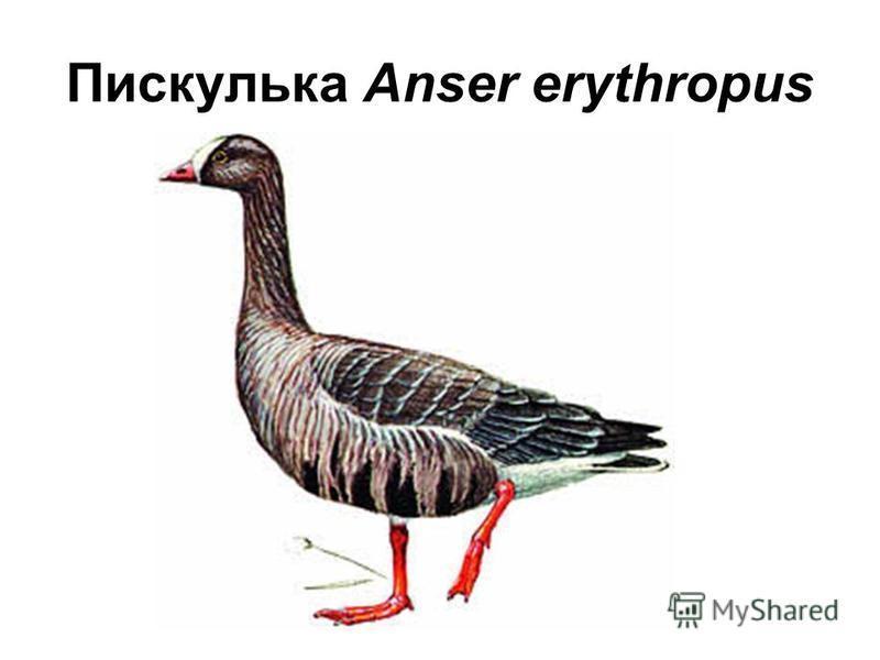 Пискулька Anser erythropus