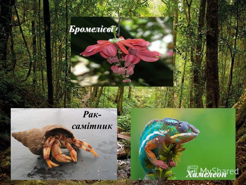 Найпоширеніша рocлuнa- Conocarpus