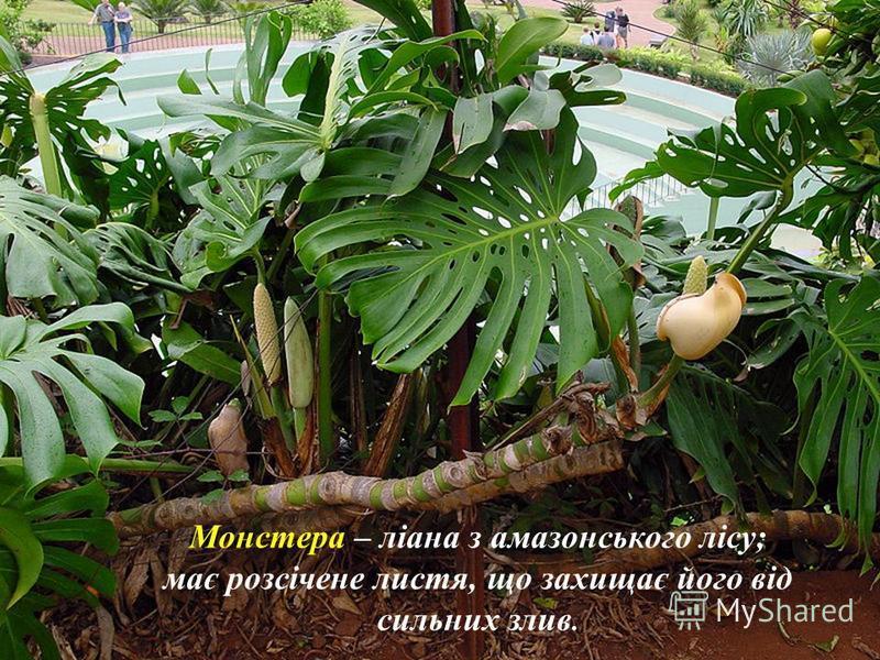 Р О С Л И Н Н І С Т Ь 40 000 видів какао дерево, сейба, молочне дерево, пальми (200 видів), фікуси, Сейба (висота до 80м) Вічнозелені багатоярусні (до12 ярусів) ліси