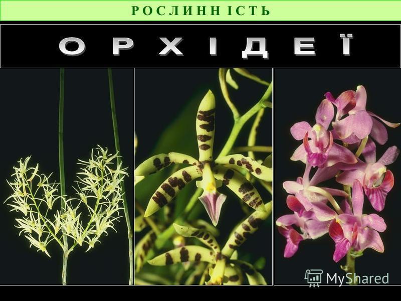Р О С Л И Н Н І С Т Ь Мухоловка У сельві живуть хижі рослини, які харчуються комахами, заманюючи їх запахом у свої коробочки.