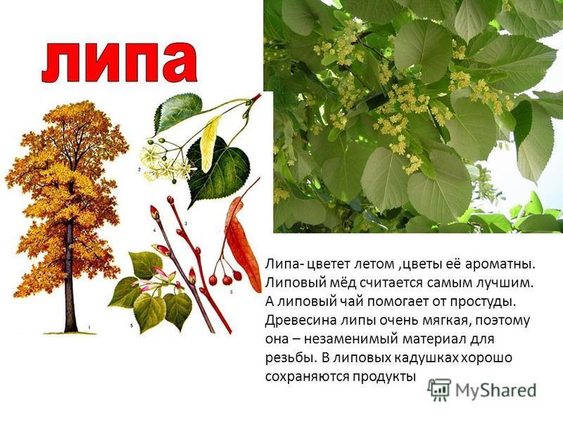 Липа- цветет летом,цветы её ароматны. Липовый мёд считается самым лучшим. А липовый чай помогает от простуды. Древесина липы очень мягкая, поэтому она – незаменимый материал для резьбы. В липовых кадушках хорошо сохраняются продукты