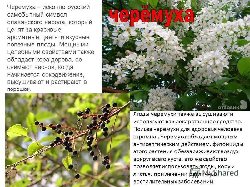 Черемуха – исконно русский самобытный символ славянского народа, который ценят за красивые, ароматные цветы и вкусные полезные плоды. Мощными целебными свойствами также обладает кора дерева, ее снимают весной, когда начинается сокодвижение, высушиваю