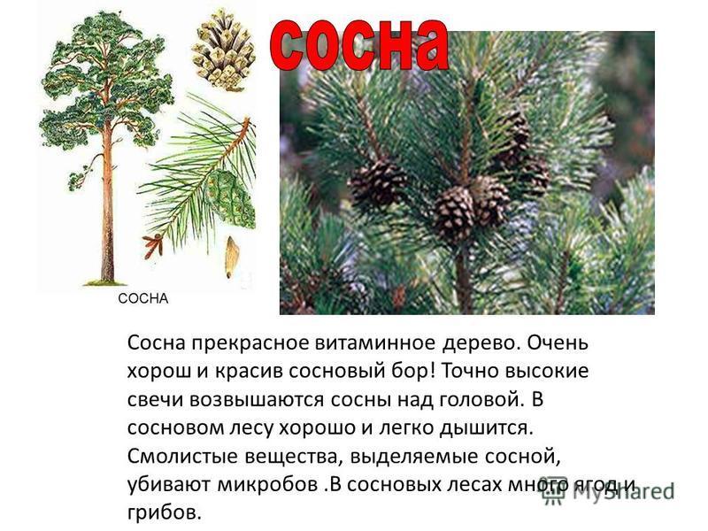 Сосна прекрасное витаминное дерево. Очень хорош и красив сосновый бор! Точно высокие свечи возвышаются сосны над головой. В сосновом лесу хорошо и легко дышится. Смолистые вещества, выделяемые сосной, убивают микробов.В сосновых лесах много ягод и гр