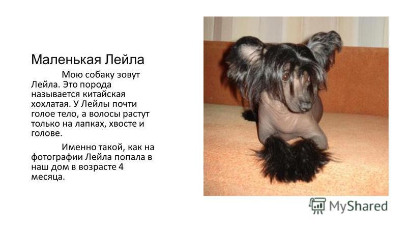 Маленькая Лейла Мою собаку зовут Лейла. Это порода называется китайская хохлатая. У Лейлы почти голое тело, а волосы растут только на лапках, хвосте и голове. Именно такой, как на фотографии Лейла попала в наш дом в возрасте 4 месяца.