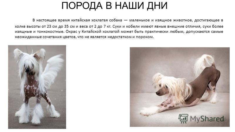 В настоящее время китайская хохлатая собака маленькое и изящное животное, достигающее в холке высоты от 23 см до 35 см и веса от 2 до 7 кг. Суки и кобели имеют явные внешние отличия, суки более изящные и тонкокостные. Окрас у Китайской хохлатой может