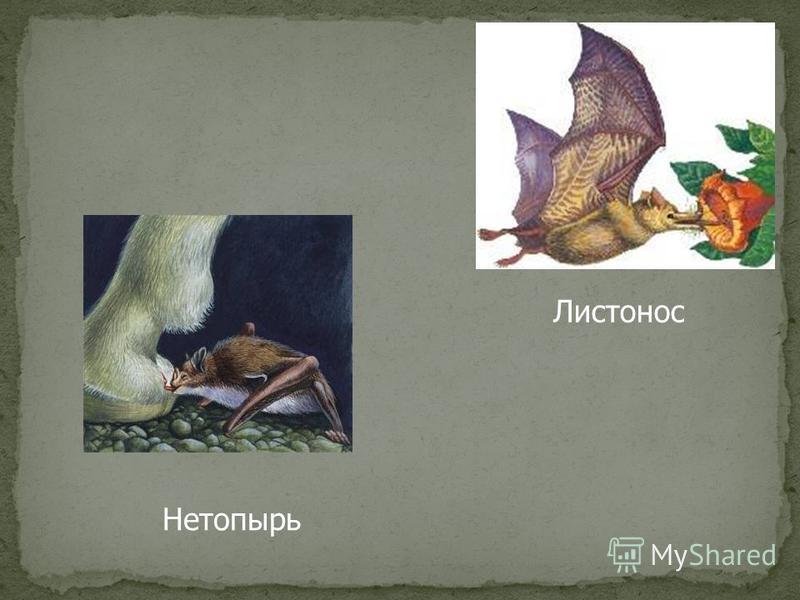 Нетопырь Листонос