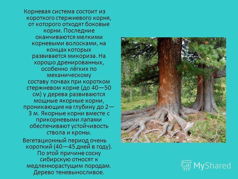 Корневая система состоит из короткого стержневого корня, от которого отходят боковые корни. Последние оканчиваются мелкими корневыми волосками, на концах которых развивается микориза. На хорошо дренированных, особенно лёгких по механическому составу
