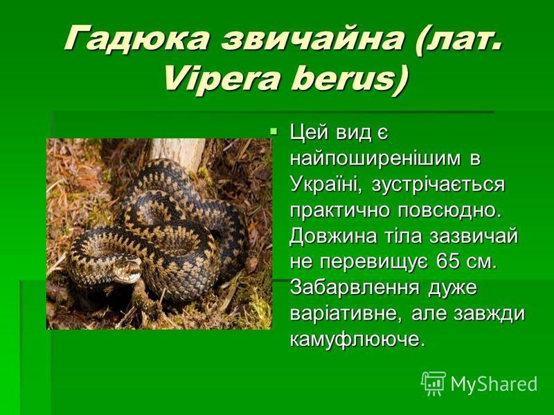Гадюка звичайна (лат. Vipera berus) Цей вид є найпоширенішим в Україні, зустрічається практично повсюдно. Довжина тіла зазвичай не перевищує 65 см. Забарвлення дуже варіативне, але завжди камуфлююче. Цей вид є найпоширенішим в Україні, зустрічається