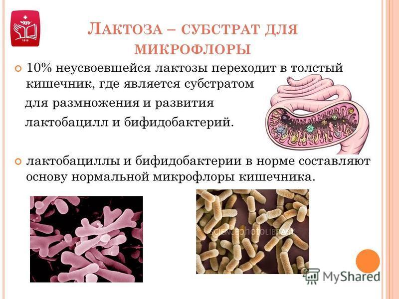 Л АКТОЗА – СУБСТРАТ ДЛЯ МИКРОФЛОРЫ 10% неусвоевшейся лактозы переходит в толстый кишечник, где является субстратом для размножения и развития лактобацилл и бифидобактерий. лактобациллы и бифидобактерии в норме составляют основу нормальной микрофлоры