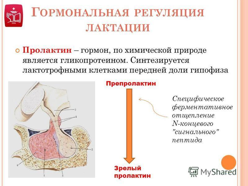Г ОРМОНАЛЬНАЯ РЕГУЛЯЦИЯ ЛАКТАЦИИ Пролактин – гормон, по химической природе является гликопротеином. Синтезируется лактотрофными клетками передней доли гипофиза Препролактин Зрелый пролактин Специфическое ферментативное отщепление N-концевого