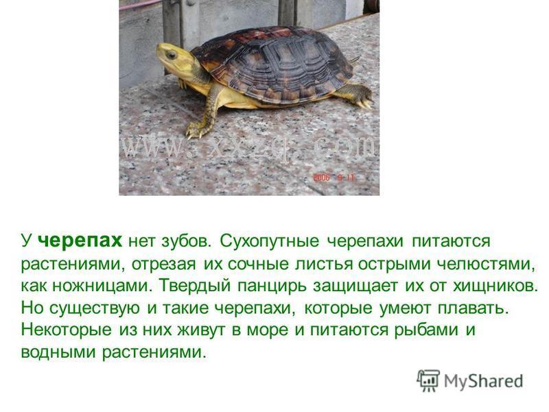 У черепах нет зубов. Сухопутные черепахи питаются растениями, отрезая их сочные листья острыми челюстями, как ножницами. Твердый панцирь защищает их от хищников. Но существую и такие черепахи, которые умеют плавать. Некоторые из них живут в море и пи