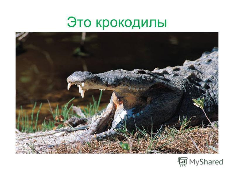 Это крокодилы