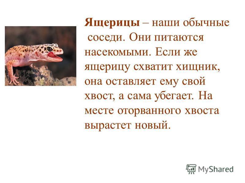 Ящерицы – наши обычные соседи. Они питаются насекомыми. Если же ящерицу схватит хищник, она оставляет ему свой хвост, а сама убегает. На месте оторванного хвоста вырастет новый.