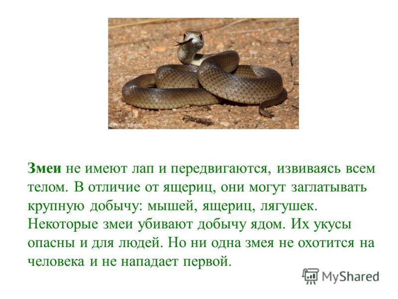 Змеи не имеют лап и передвигаются, извиваясь всем телом. В отличие от ящериц, они могут заглатывать крупную добычу: мышей, ящериц, лягушек. Некоторые змеи убивают добычу ядом. Их укусы опасны и для людей. Но ни одна змея не охотится на человека и не