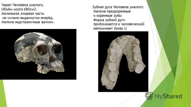 Череп Человека умелого. Объём мозга 680 см 3. Маленькая лицевая часть не сильно выдвинутая вперёд. Мелкие надглазничные валики. Зубная дуга Человека умелого Мелкие предкоренные и коренные зубы Форма зубной дуги приближается к человеческой напоминает