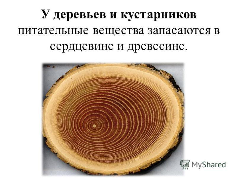 У деревьев и кустарников питательные вещества запасаются в сердцевине и древесине.