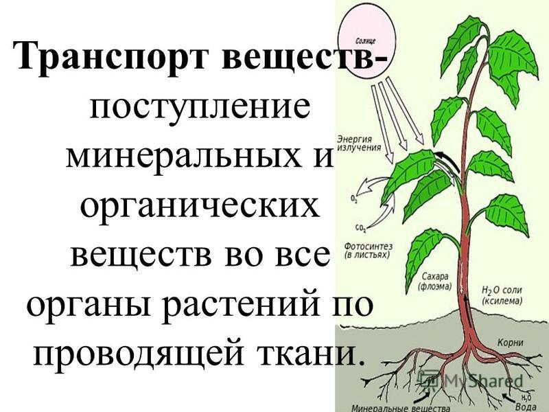 Транспорт веществ- поступление минеральных и органических веществ во все органы растений по проводящей ткани.