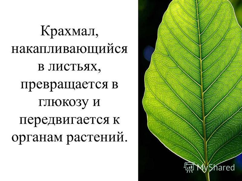 Крахмал, накапливающийся в листьях, превращается в глюкозу и передвигается к органам растений.