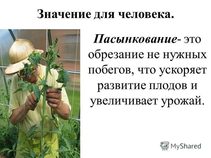 Значение для человека. Пасынкование- это обрезание не нужных побегов, что ускоряет развитие плодов и увеличивает урожай.