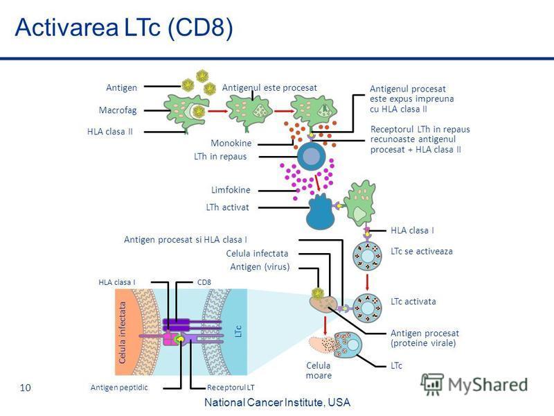 10 Activarea LTc (CD8) Antigen procesat si HLA clasa I Limfokine HLA clasa I HLA clasa II Antigenul procesat este expus impreuna cu HLA clasa II Antigen Receptorul LTh in repaus recunoaste antigenul procesat + HLA clasa II Macrofag Monokine LTc Celul
