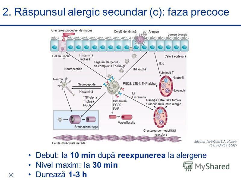 2. Răspunsul alergic secundar (c): faza precoce 30 Debut: la 10 min după reexpunerea la alergene Nivel maxim: la 30 min Durează 1-3 h Adaptat după Galli S.J., Nature 454, 445-454 (2008)
