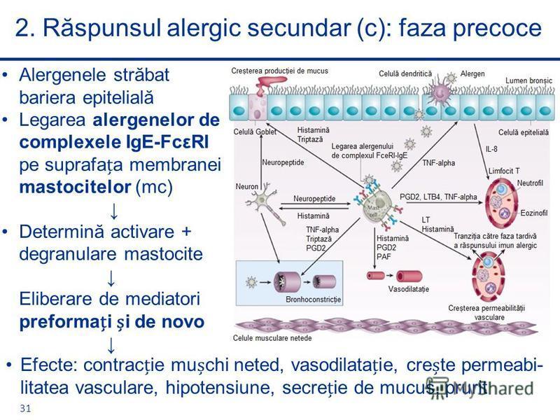 2. Răspunsul alergic secundar (c): faza precoce 31 Alergenele străbat bariera epitelială Legarea alergenelor de complexele IgE-FcεRI pe suprafaa membranei mastocitelor (mc) Determină activare + degranulare mastocite Eliberare de mediatori preformai i
