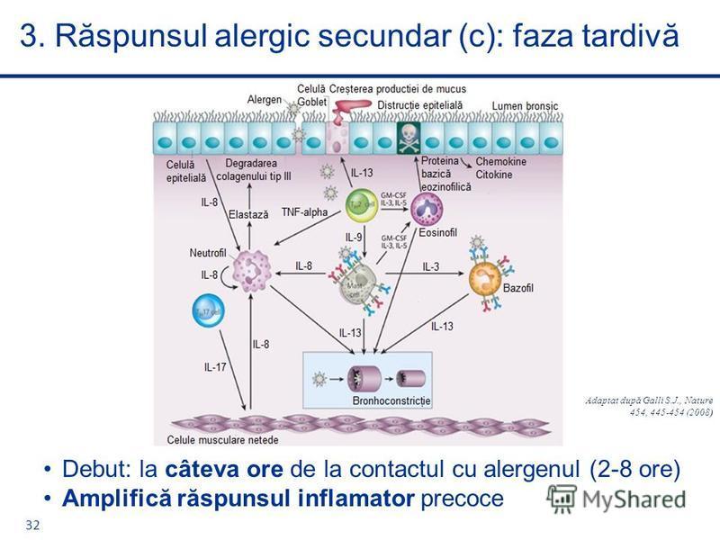 Debut: la câteva ore de la contactul cu alergenul (2-8 ore) Amplifică răspunsul inflamator precoce 3. Răspunsul alergic secundar (c): faza tardivă 32 Adaptat după Galli S.J., Nature 454, 445-454 (2008)