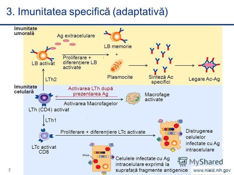 7 3. Imunitatea specifică (adaptativă) www.niaid.nih.gov Activarea LTh după prezentarea Ag Imunitate celulară Imunitate umorală Ag extracelulare Proliferare + difereniere LB activate LB memorie PlasmociteSinteză Ac specifici Legare Ac-Ag LTh2 LB acti