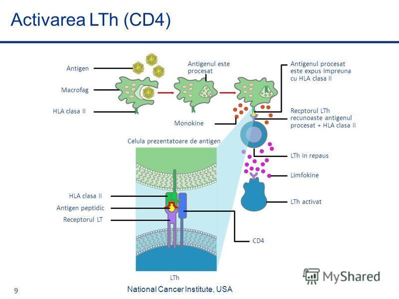9 Activarea LTh (CD4) LTh activat Monokine HLA clasa II Receptorul LT Celula prezentatoare de antigen CD4 Antigen peptidic Antigenul este procesat LTh in repaus HLA clasa II Limfokine Recptorul LTh recunoaste antigenul procesat + HLA clasa II Macrofa