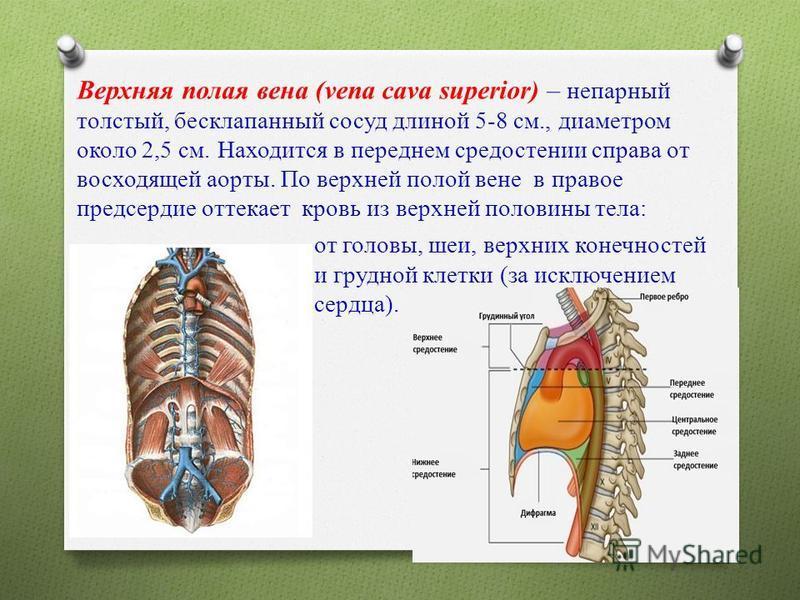 Верхняя полая вена (vena cava superior) – непарный толстый, бесклапанный сосуд длиной 5-8 см., диаметром около 2,5 см. Находится в переднем средостении справа от восходящей аорты. По верхней полой вене в правое предсердие оттекает кровь из верхней по
