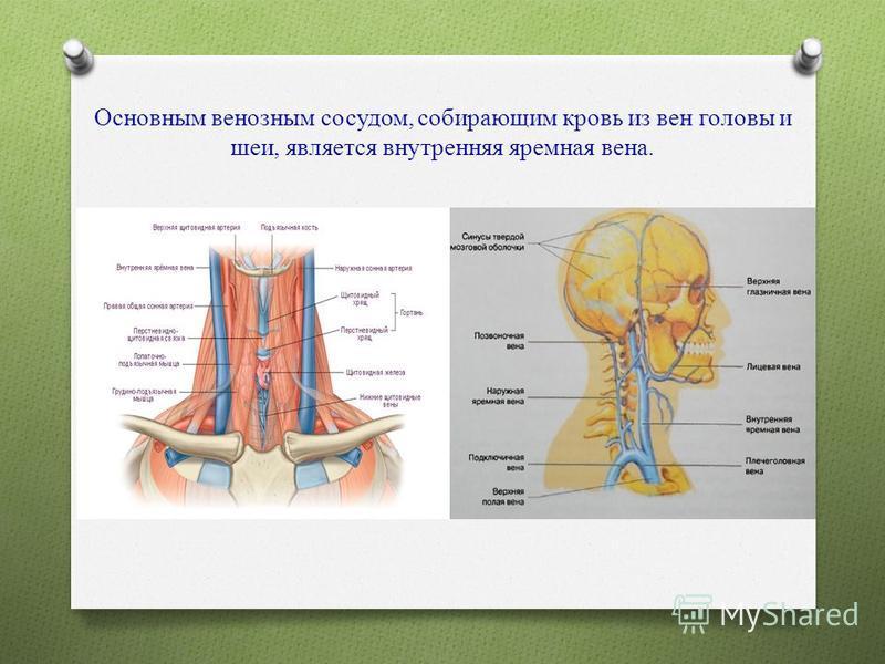 Основным венозным сосудом, собирающим кровь из вен головы и шеи, является внутренняя яремная вена.