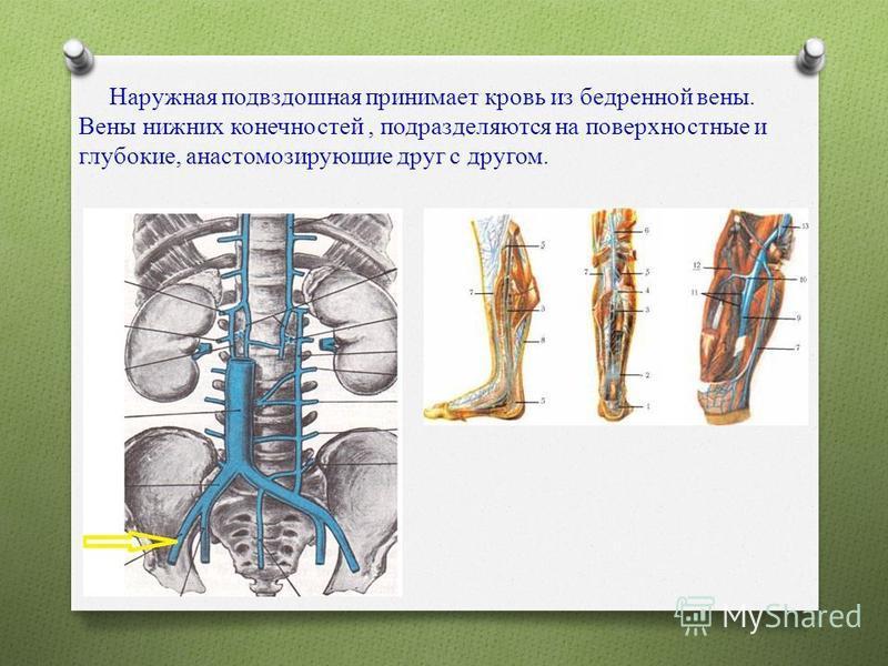 Наружная подвздошная принимает кровь из бедренной вены. Вены нижних конечностей, подразделяются на поверхностные и глубокие, анастомозирующие друг с другом.