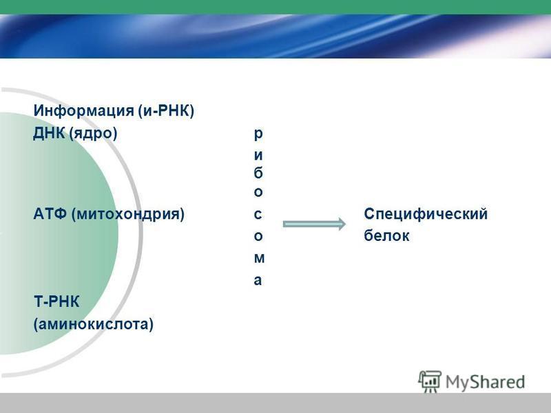 Информация (и-РНК) ДНК (ядро) р и б о АТФ (митохондрия)с Специфический белок м а Т-РНК (аминокислота)