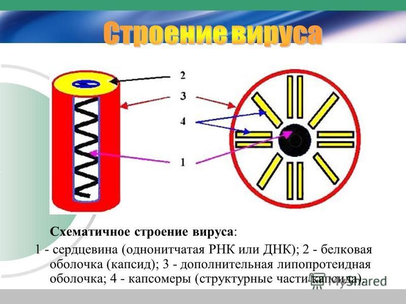 Схематичное строение вируса: 1 - сердцевина (однонитчатая РНК или ДНК); 2 - белковая оболочка (капсид); 3 - дополнительная липопротеидная оболочка; 4 - капсомеры (структурные части капсида).
