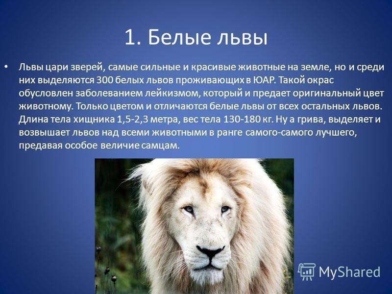 1. Белые львы Львы цари зверей, самые сильные и красивые животные на земле, но и среди них выделяются 300 белых львов проживающих в ЮАР. Такой окрас обусловлен заболеванием лейкизмом, который и предает оригинальный цвет животному. Только цветом и отл
