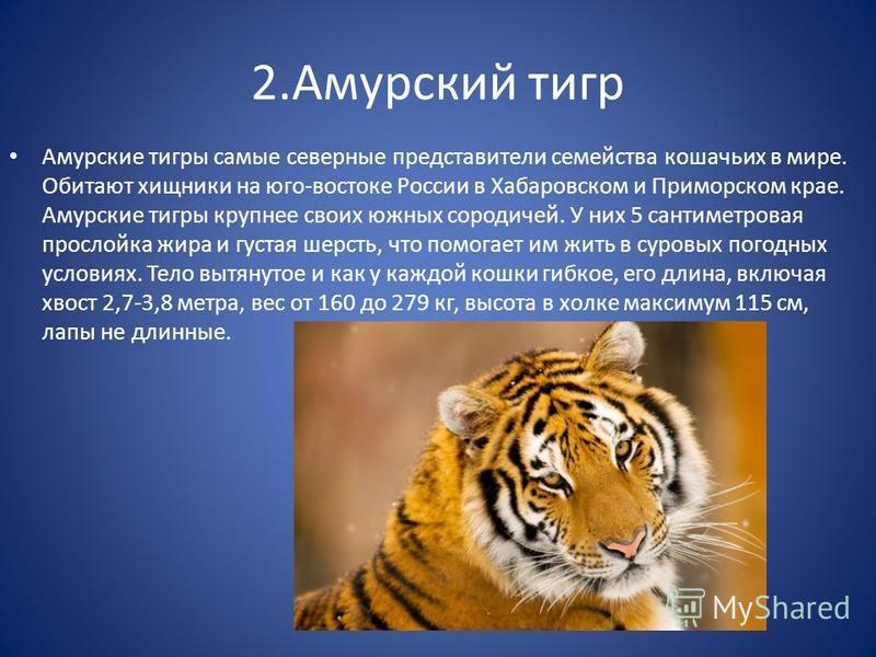 2. Амурский тигр Амурские тигры самые северные представители семейства кошачьих в мире. Обитают хищники на юго-востоке России в Хабаровском и Приморском крае. Амурские тигры крупнее своих южных сородичей. У них 5 сантиметровая прослойка жира и густая